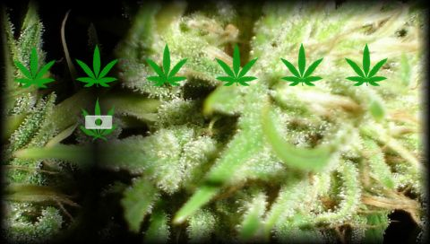 Connoisseur Genetics Marijuana Seeds  It is a marijuana seed breeder which has no official website and very limited information. It breeds quality regular and feminized marijuana seeds. Customers can avail of the Connoisseur Genetics marijuana seeds through its seed banks which include Attitude Seeds, Sea of Seeds, Sensible Seeds, Herbie's Cannabis Seeds and Weed Seed Shop.  http://www.seedbankreview.com/connoisseur-genetics/