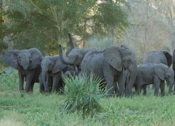 Em Moçambique, a ex-colônia portuguesa que se tornou independente em 1975, os anos de guerra civil deixaram uma marca terrível não apenas nas populações humanas, mas também nas de elefantes. Como resultado da caça indiscriminada contra todo tipo de paquiderme que exibisse presas de marfim, uma grande Mutação genética faz com que elefantes nasçam sem presas em Moçambique.