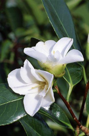 Camellia wabisuke 'Shiro-wabisuke' (Japan, 1844)