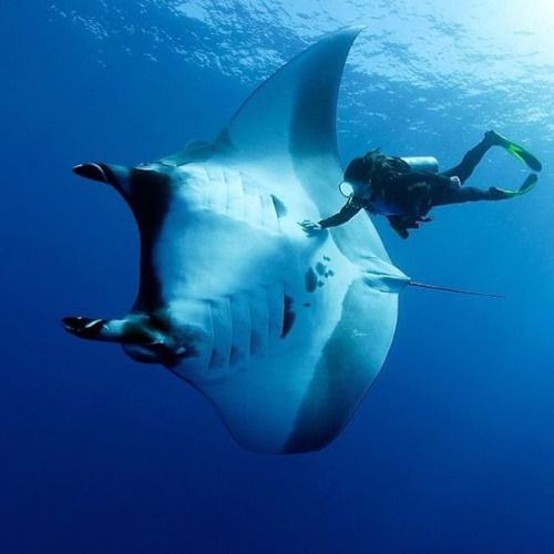 """A truly remarkable interaction with nature by @francobanfi - """" A scuba diver is playing with a manta ray, Manta birostris in San Benedicto, Revillagigedo (Socorro) Island, Mexico. The mantas from Socorro like to interact with divers, some of the..."""