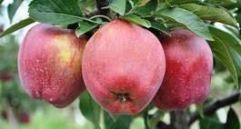 Drzewa owocowe 1
