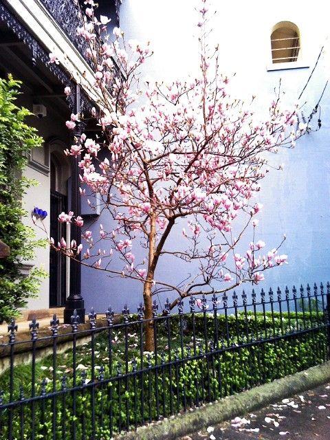 Pink magnolia blue wall Paddington NSW