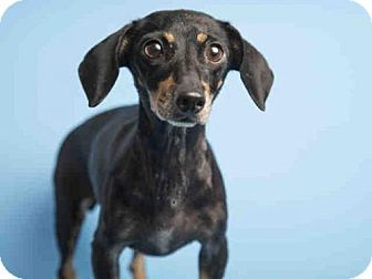 Pictures of MADDY a Dachshund for adoption in Phoenix, AZ who needs a loving…
