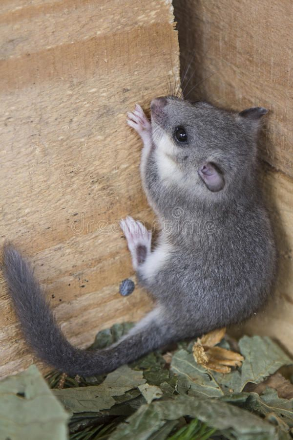 Young Glis Glis Climbing On A Wooden Wall Ad Glis Young
