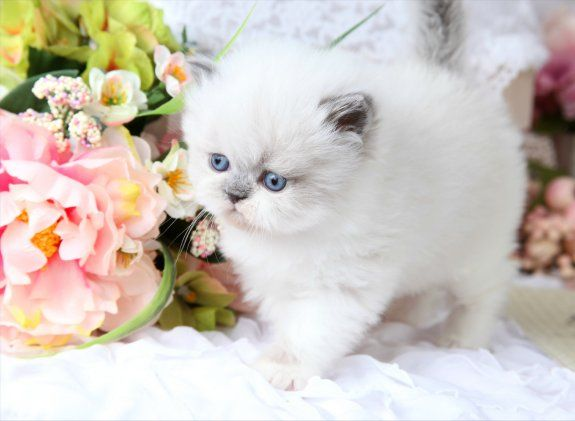 Himalayan persian kittens for sale in kentucky