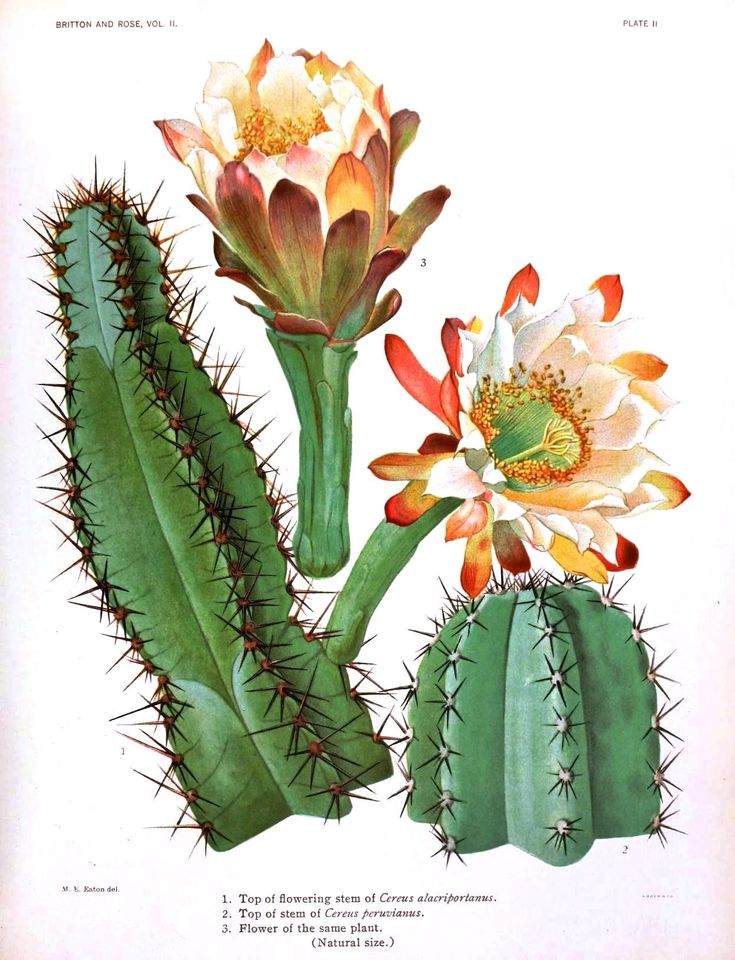 Botanical - Cactus 1