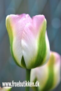 Greenland Tulipaner er smuk som pastelfarvede iskugler. Rosa, creme og pistaciefarvede smukke blomsterhoveder. Greenland Tulipan blomstrer i maj-juni.