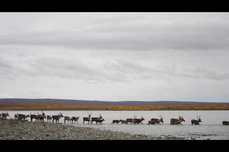 As the once-vast Western Arctic Caribou Herd shrinks, a proposal from the Northwest Arctic Subsistence Regional Advisory Council to close caribou hunting on federal lands in Unit 23 to non-local users for a year goes up for discussion later this month.
