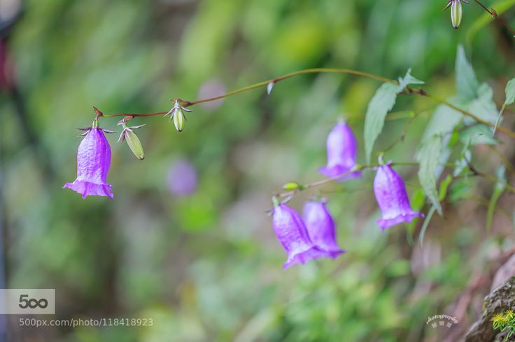 diamond-bluebell .. (금강초롱) First discovered in 1902 but now the Mt. Taebaek Odaesan hyangno naebong    through the Mt Seorak been found growing in South Hamgyong Province was recently collected in Gapyeong-gun Gyeonggi-do Myeongjisan. It grows over 1000 meters high mountain Country of origin Asia (Republic of Korea)   Republic of Korea endemic species endemic plants   Language of flowers ... 각시와신랑. 청사초롱.가련한마음