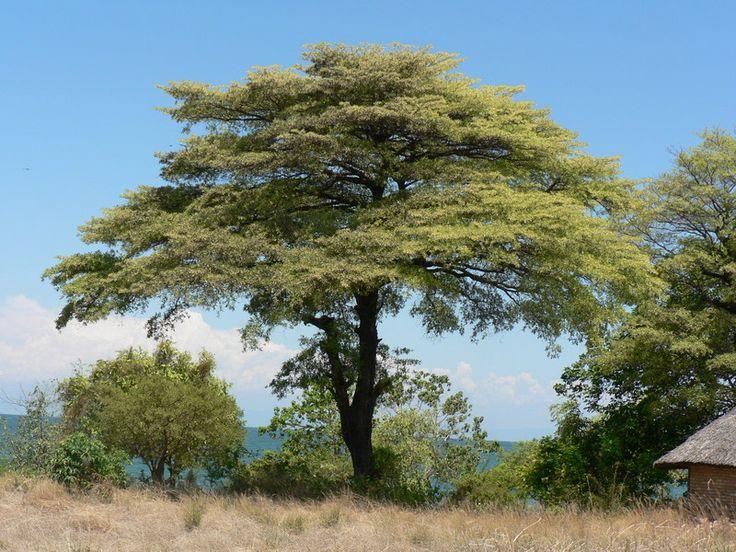 Terminalia sericea (Silver Cluster-leaf) Terminalia sericea is a species of deciduous tree of the genus Terminalia that is native to southern Africa. Vaalboom in Afrikaans and Mususu in Venda - Google Search