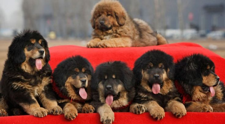 15 Most Expensive Dog Breeds in the World | #1. Tibetan Mastiff (Average Puppy Price: $2,500 - $3,500)