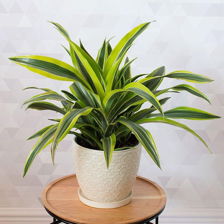 Dracaena Lemon Lime Mkl Birthday Wishes House Plants