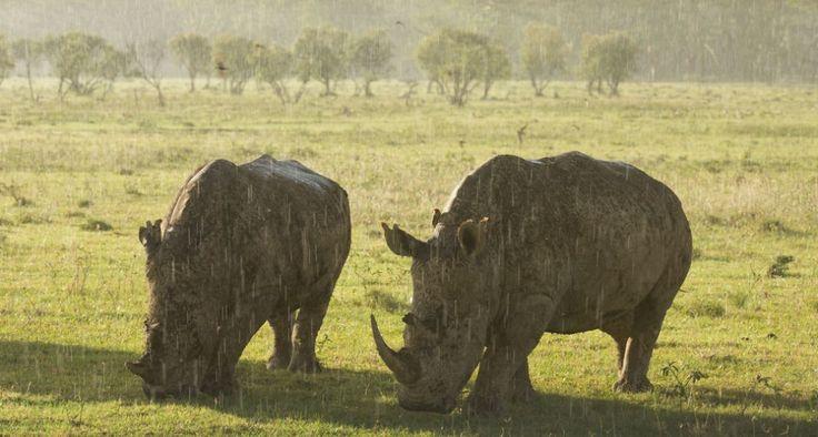 Compañerismo húmedo Un par de rinocerontes comen bajo la lluvia en el Lago Nakuru en Kenia.  Andrzej Kubik