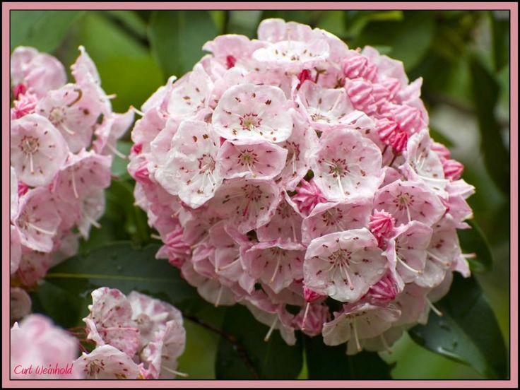 Pennsylvania State Flower Curt Weinhold All Galleries