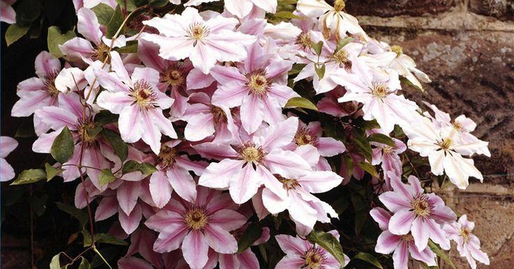 Cómo cultivar la Clematis perenne. Las enredaderas Clematis son valoradas por sus vistosas flores, por su vigor y adaptabilidad a una gran variedad de climas. Estas adornarán alegremente la valla del jardín, se mezclarán con los arbustos o engalanarán un enrejado con flores a lo largo de todo el verano. Si bien son fáciles de cuidar, deberás cumplir con algunos requerimientos para ...