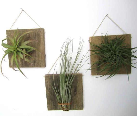 Set of Three LARGE FORM Air Plant and Barn Wood Grab Bag airplants on Etsy, $36.50