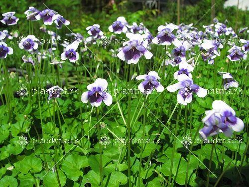 Show details for Viola hederacea 14cm
