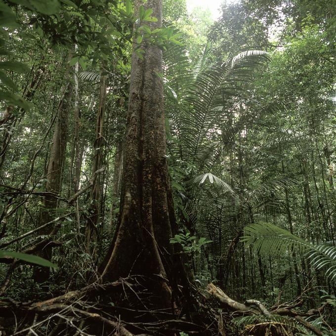 Forêt guyanaise près de Sinnamary (Guyane)