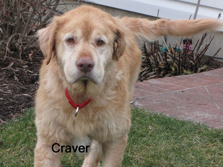 This is Craver - 8 yrs. He was a therapy[y dog for the first 2 yrs of his life and then given to his next owner who recently passed away. Carver was neglected, lived outside and has skin issues that are being addressed. He is neutered, current on vaccinations, potty and crate trained, walks well on leash, good with dogs. Golden Retriever Rescue Resource, OH. - http://www.gr-rescue.org/golden_retrievers_for_adoption_2.html#.VKHtUl4AA