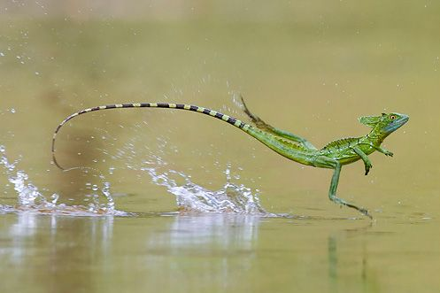 The common basilisk is often well known for being able to run across the surface of water. The basilisk is also known as the Jesus Lizard for this insane ability.