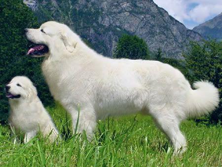 tatra sheepdog -