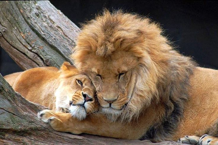 Lions in love ❤️