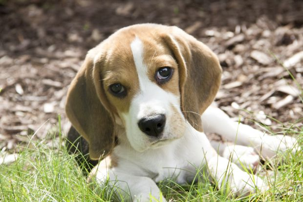 cute adorable baby beagle puppy