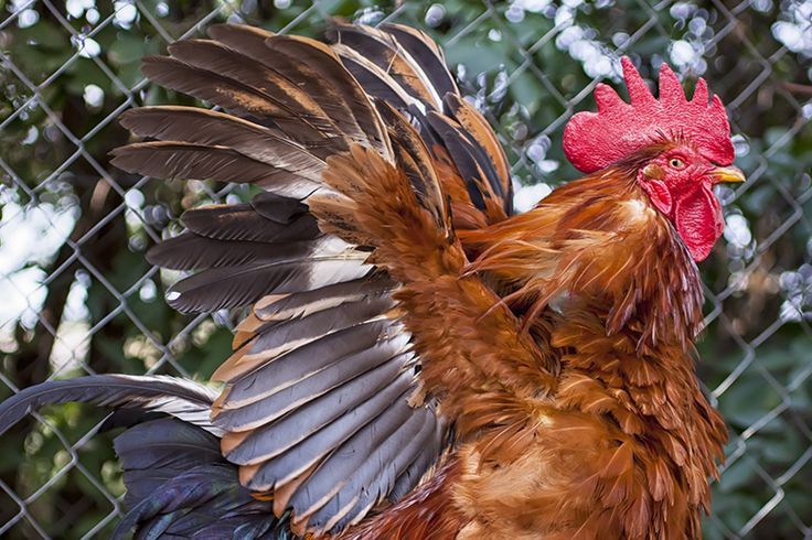 Rooster stretching his wings