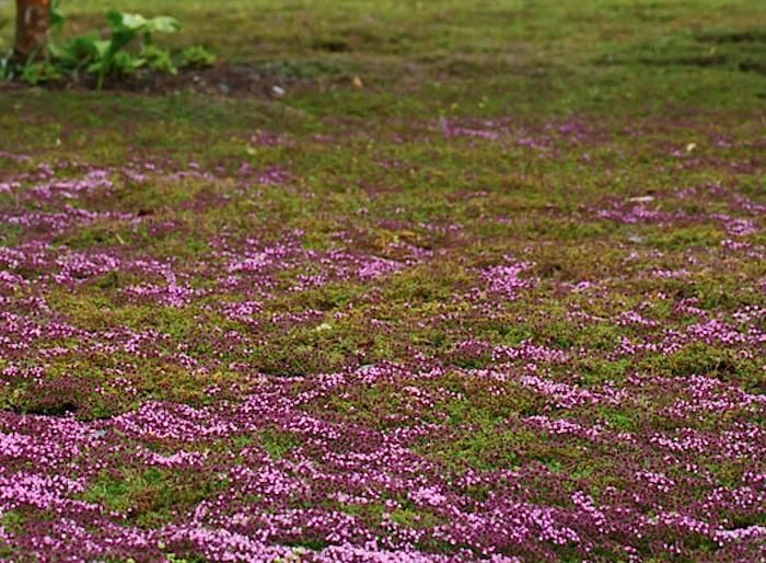 The 25 best thymus serpyllum ideas on pinterest ground for Drought tolerant ground cover full sun