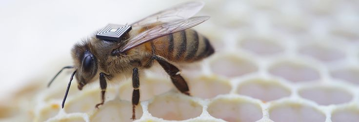 Honey bees are essential for the pollination of about one third of the food we eat - including fruit, vegetables, oils, seeds and nuts - yet their health and ability to pollinate our crops is under serious threat. Integral to the research effort are micro-sensors that are manually fitted to bees which work like a vehicle e-tag system, with strategically placed receivers identifying individual bees and recording their movements in and around bee hives.