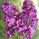 Lilac - Agincourt Beauty