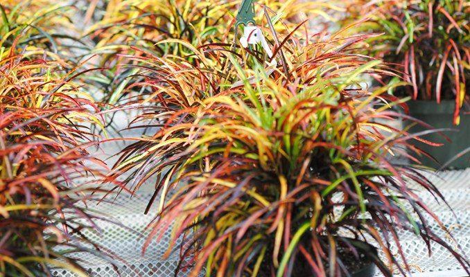 Miniature Croton Croton Plant Varieties Zanzibar Croton