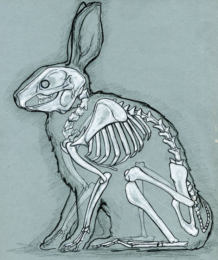 X Ray Line Drawing : Best rabbit drawings skulls and morbid inspirations