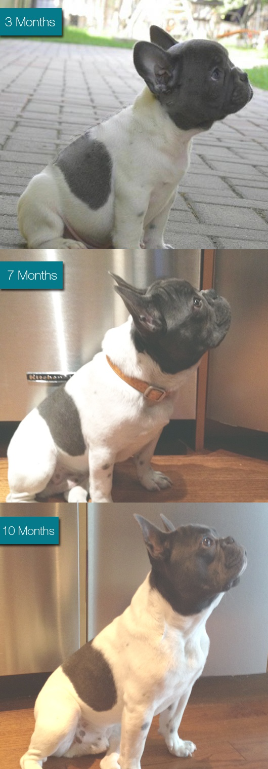 97 best the french bulldog king louis images on pinterest french my french bulldogs growth progression louis is getting manly at 10 months nvjuhfo Choice Image