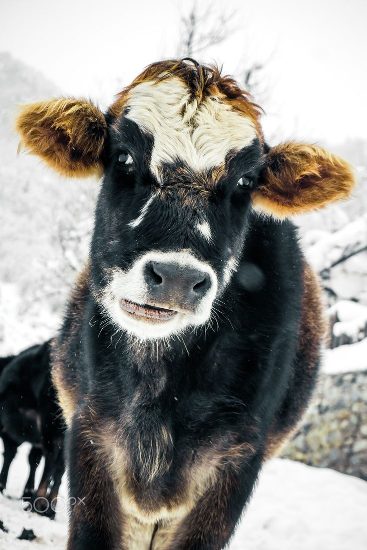 best 25 fluffy cows ideas on pinterest baby highland cow