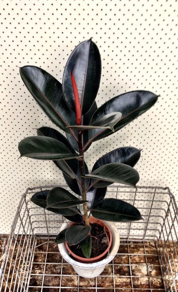 Ficus Elastica 'Burgundy'                                                                                                                                                                                 More