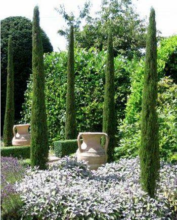 Cupressus sempervirens Stricta providing vertical accents in a Mediterranean garden.
