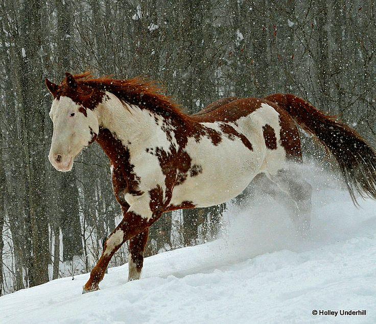 Thinkin Strait - APHA Chestnut Overo Paint Horse Stallion ...