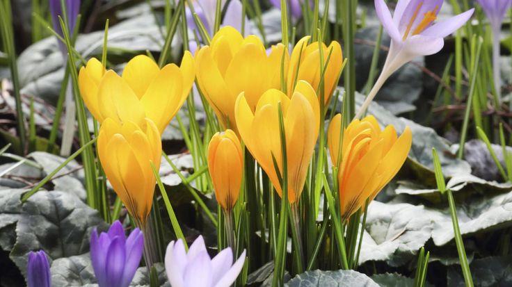 Krokus pflanzen: Zarte Blüten für Frühling und Herbst.  (Quelle: imago/blickwinkel)