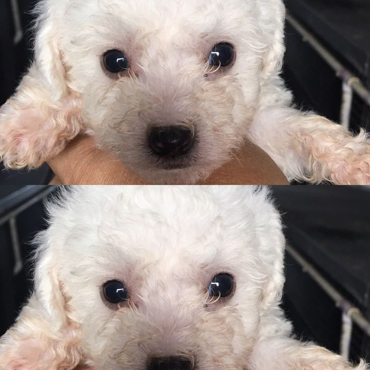 Bichon Frise for sale, 14 weeks on Dec 30th, comes with paperwork for registration, hair is a little longer now, very playful, loves to cuddle, loves to sneak off with shoes, 1st round of shots and vet checked when born, crate trained, eats Blue dog food. We will be traveling a lot due to work and family that is why we are wanting him to go to a loving family. Comes with a case of puppy pads, 2 cases of Blue dog food, shampoos, 5 monthly flea kits to put in him, doggie pillow, toys…