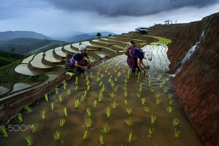 Terrace rice field - Pa pong peing terrace rice field in Chaingmai Thailand