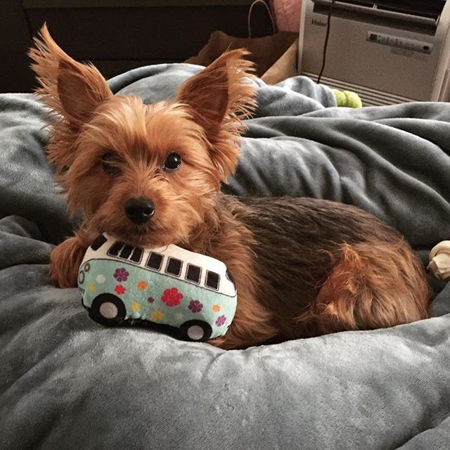 Elizabethtown Pa Yorkie Yorkshire Terrier Meet Zoey A Dog For