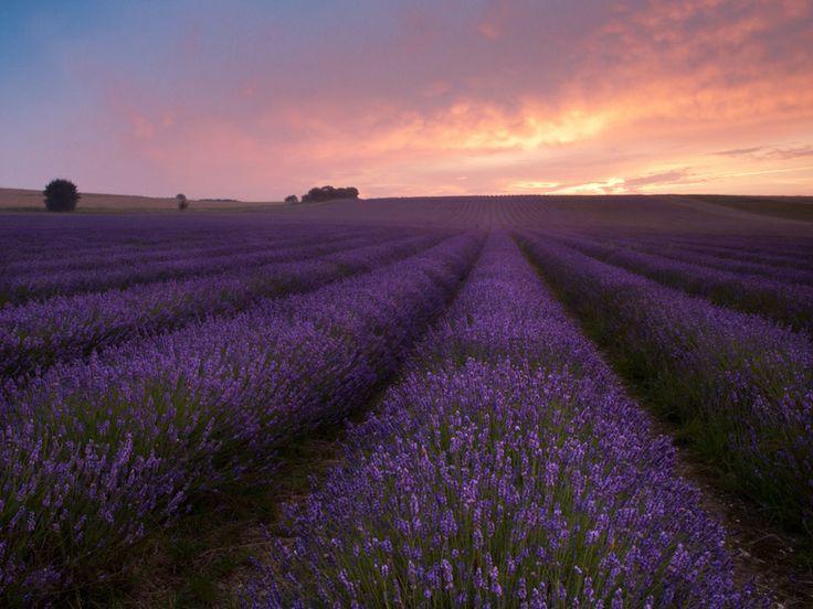lavendel 2 10 Prachtige Fotos van Lavendelvelden
