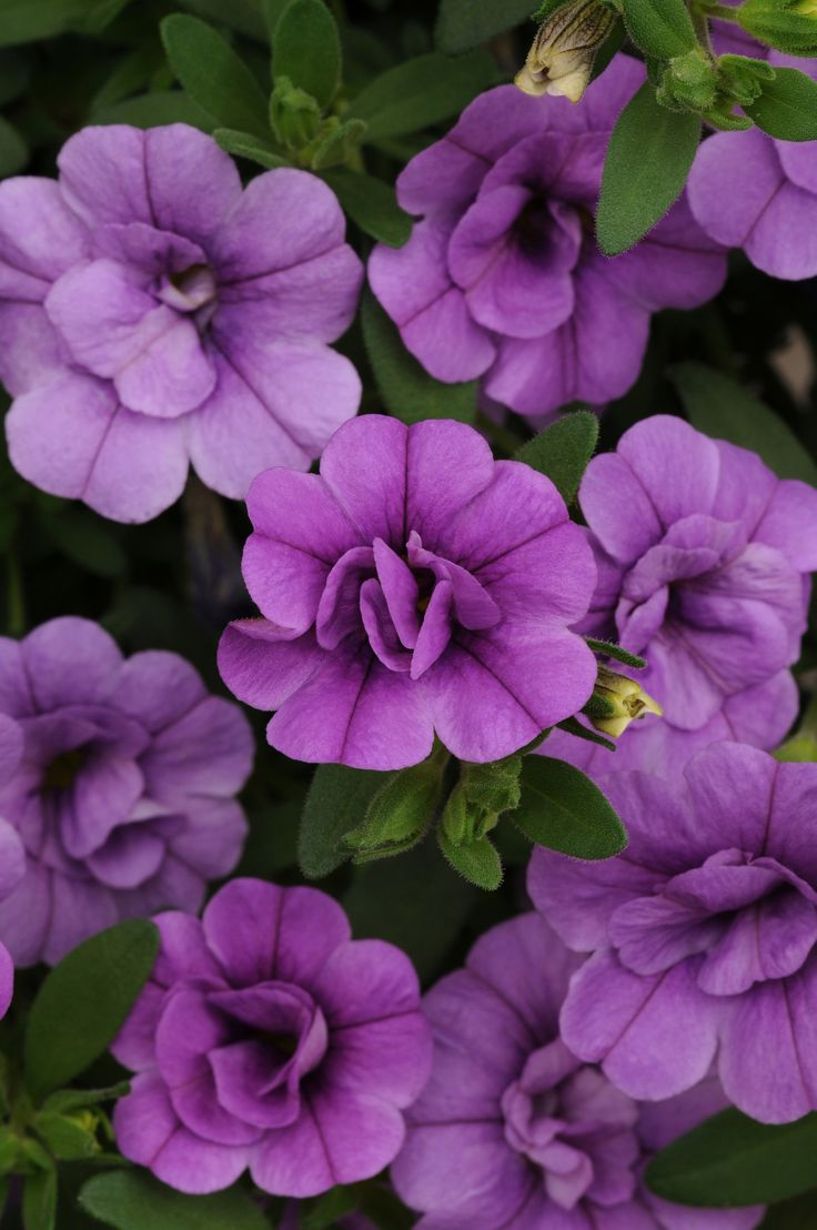 254 best spring 2016 annuals images on pinterest spring 2014 calibrachoa minifamous double amethyst ball horticultural co purple flowerscontainer izmirmasajfo