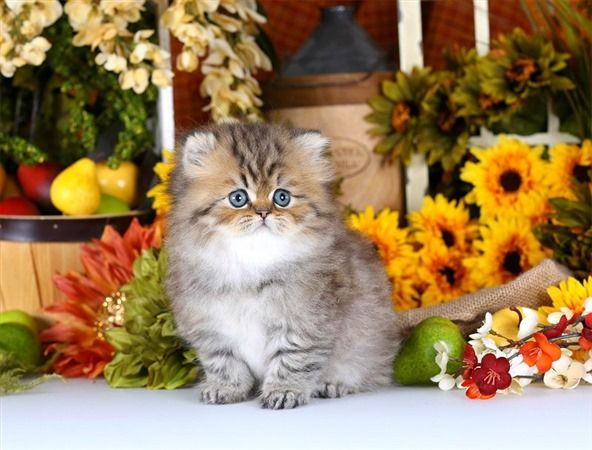 Teacup Persian kittens for sale   Himalayan Kittens for SaleSuperior Quality Teacup Persian Kittens For Sale