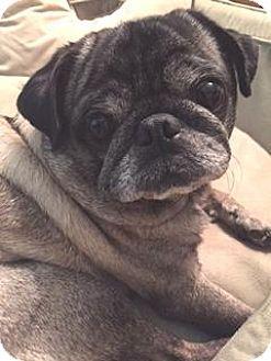 Atlanta, GA - Pug. Meet Obie, a dog for adoption. http://www.adoptapet.com/pet/15794610-atlanta-georgia-pug