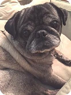 Atlanta, GA - Pug. Meet Obie, a dog for adoption. http://www.adoptapet.com/pet/15794610-atlanta-georgia-pug