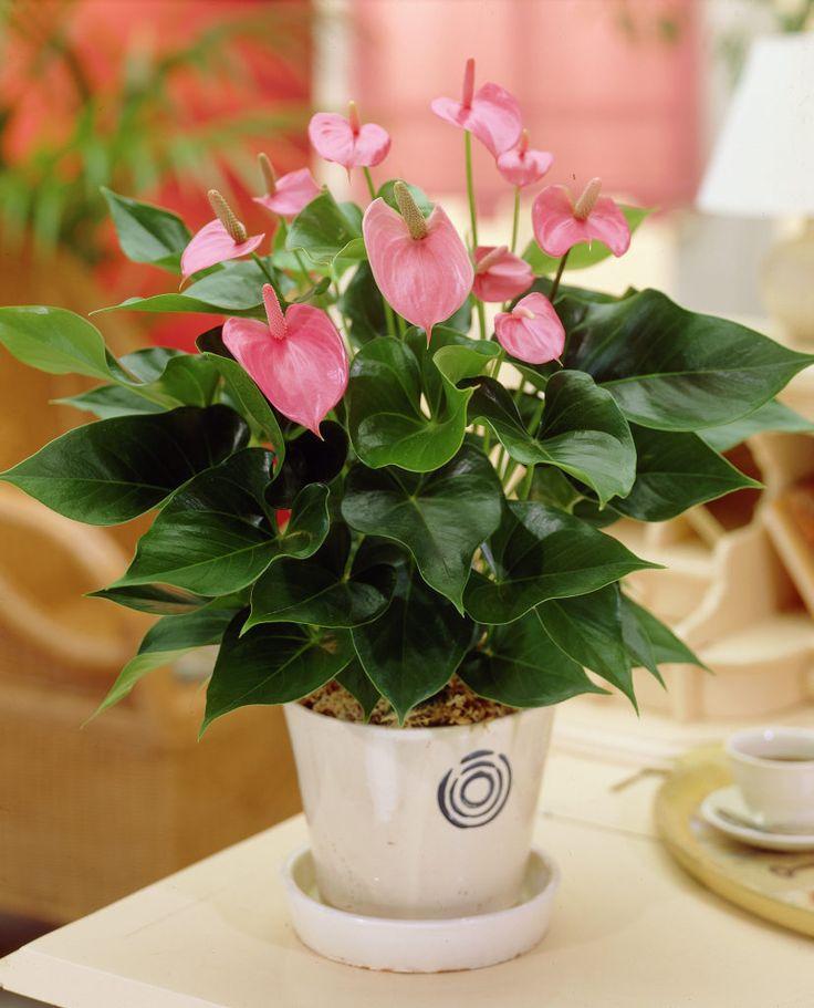 99Roots.com • Plants & Flowers • Flamingo Flower 'Pink Champion' • Anthurium 'Pink Champion'