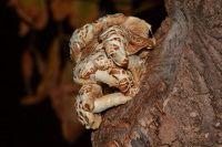 Hongos y setas. Foto de seta de chopo. Agrocybe aegerita.