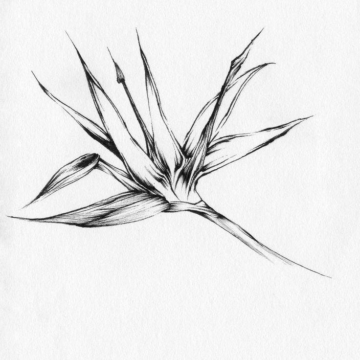 Botanical Flower Line Drawing : Bird of paradise botanical prints pinterest